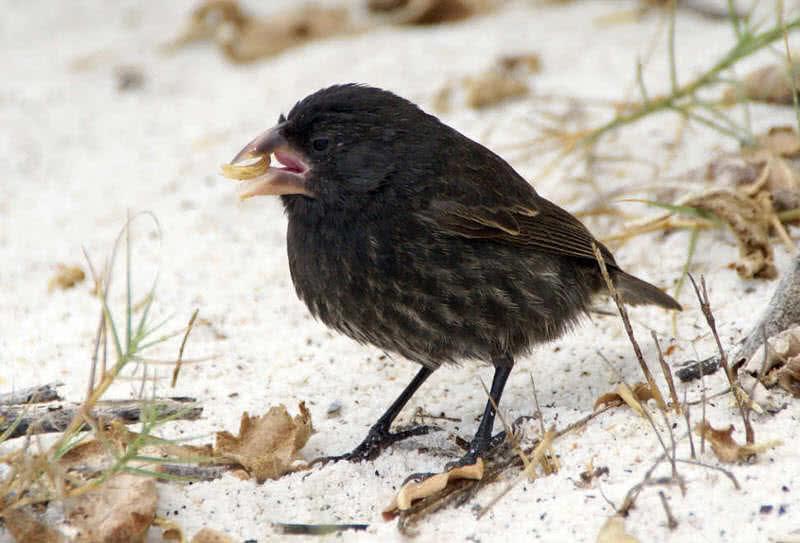 Darwins finches