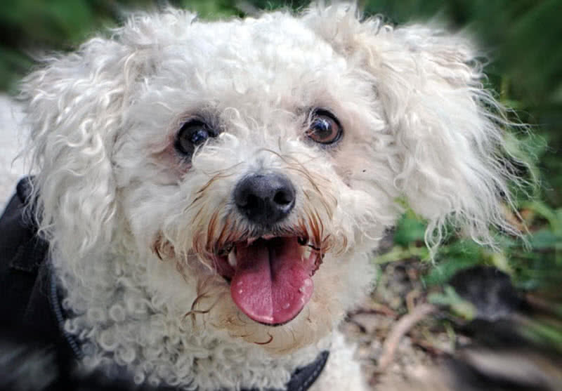 The Bichon Frise Is A Small And Cute Dog Breed Originated In Spain Name Spanish It Means Curly Lap English