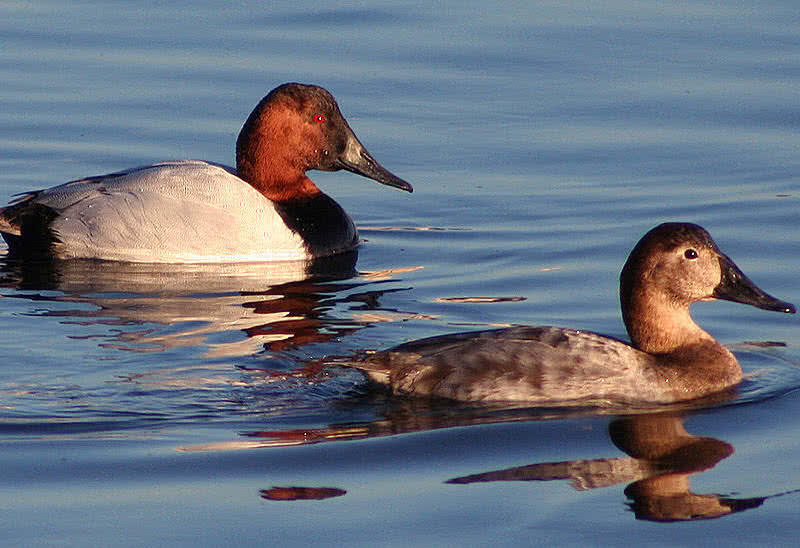 canvasback bird