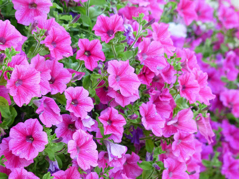 top  most beautiful flowers for hanging baskets  the mysterious, Beautiful flower