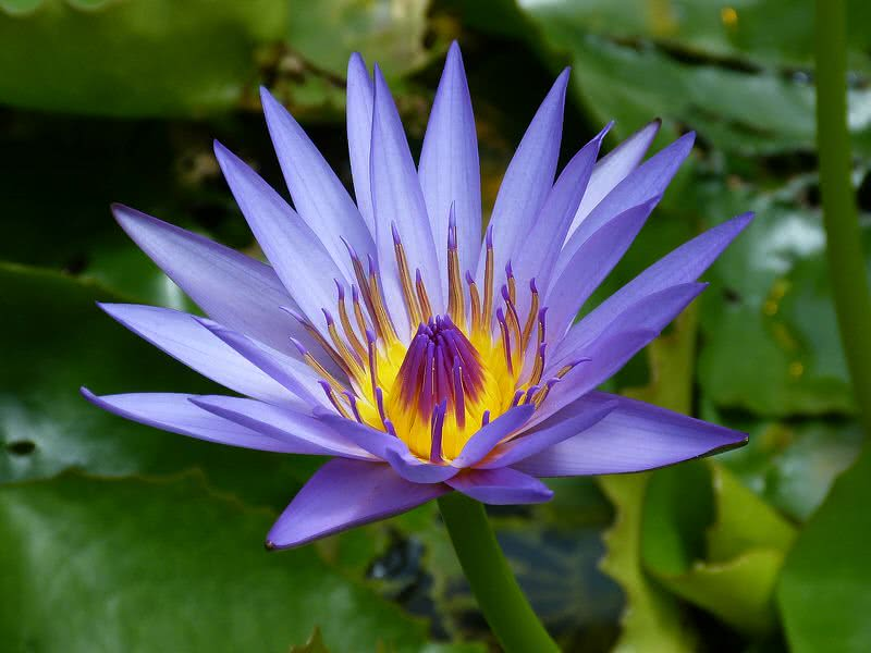 Probably The Queen Of All Aquatic Flowers In World To Your Surprise There Are 70 Different Types Water Lilies