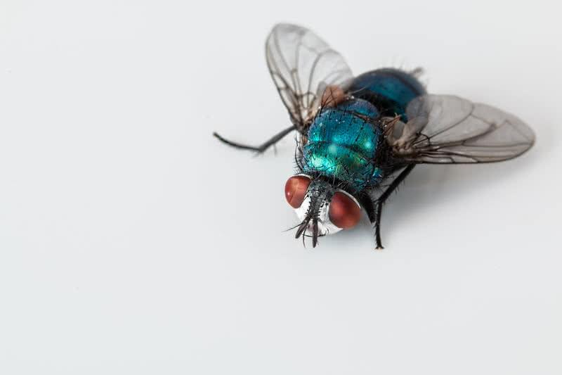 blue bottlefly